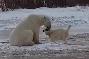 [동영상] 묶여있는 개에게 다가간 북극곰…그 뒤엔?