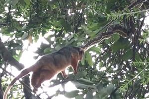 나무 위 '대롱대롱'…주머니쥐 삼키는 비단뱀