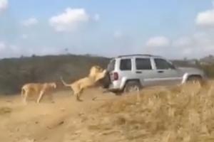 [화제의 영상] 사자의 '죽어도 못 보내'