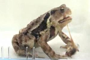 방귀벌레가 두꺼비 뱃속에서 100°C 화학물질 쏟아내는 이유