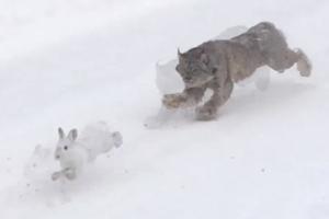 토끼 사냥하는 스라소니 포착