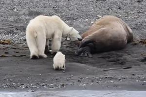북극곰, 얼마나 배가 고팠으면? 확인도 하지 않고···