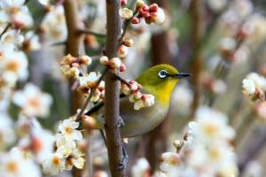 [포토] 봄소식 전하는 매화와 동박새