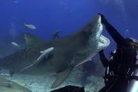 317kg 범상어와 춤추는 잠수부