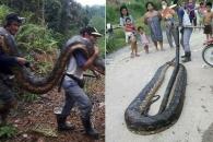 짝짓기 하던 6m 뱀으로 마을 잔치한 주민들