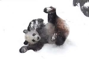 '야! 눈이다!' 자이언트 판다의 신나는 겨울나기