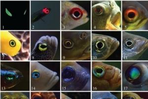 눈에 불을 켜고 돌아다니는 물고기가 있다