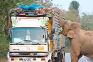 트럭에 실린 사탕수수 강탈하는 야생 코끼리