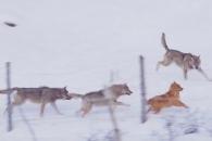 늑대 무리 공격 따돌리는 영리한 개