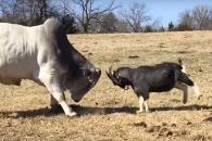 소와 신경전 벌이는 염소의 패기