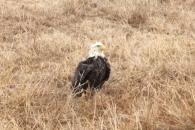 날개 얼어 날지 못해 떨고 있는 대머리 독수리