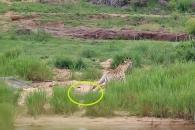 악어에 다리 물린 기린, 결국 사자 밥으로 희생