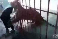 中 남성, 동물원 호랑이에게 물려 황천갈 뻔