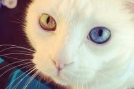 금색과 파란색 눈을 가진 신비스런 고양이