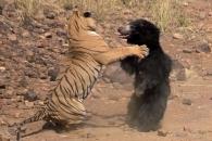 호랑이 VS 곰…털 앞에 무릎 꿇은 호랑이