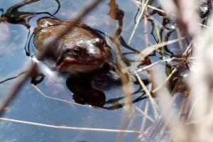 북방산개구리, 한파에 지각 산란