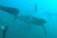 잠수부 깜짝 놀라게 한 거대 흑기흉상어