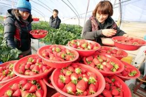 일본 컬링대표팀도 반한 한국딸기…10년새 국산 보급률 9→93%