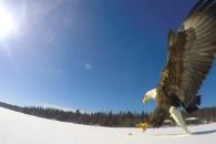 '하늘의 왕' 독수리의 초근접 먹이 사냥 순간