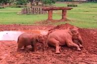 보모 따라 진흙 나뒹구는 새끼 코끼리