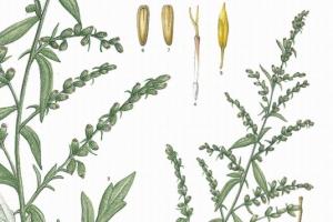 [이소영의 도시식물 탐색] 쑥, 잡초와 약용식물 사이에서