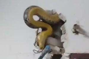 벽 속에 숨어있는 5미터 비단뱀 포획 모습