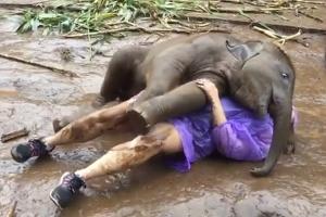 관광객 넘어뜨려 애교 부리는 코끼리