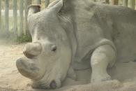 지구 상 마지막 남은 '북부 흰코뿔소' 수컷 사망…종…
