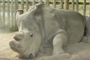 지구 상 마지막 남은 '북부 흰코뿔소' 수컷 사망…종족 멸종