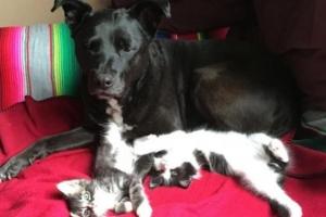 [영상] 아기 고양이 100마리 돌보는 핏불… '비결은 인내심'