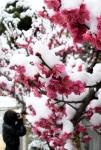 봄꽃과 눈꽃 사이… 계절의…