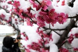 봄꽃과 눈꽃 사이… 계절의 '밀당'