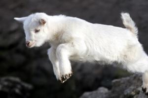[포토] 강아지인 줄…아기 염소의 '귀여운 점프'