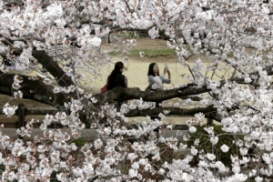 [포토] 봄소식 들려오는 도쿄…'벚꽃 놀이' 한창