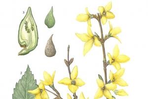 [이소영의 도시식물 탐색] 봄꽃 개나리의 비애