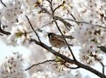 참새의 벚꽃놀이