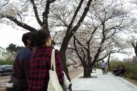 [길을 걷다] 하늘 아래 벚꽃, 그 길을 걷다