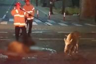 [영상] 인천 부평 한복판에 출몰한 멧돼지 2마리