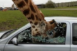 차 안 음식 훔쳐먹다 창문 깬 동물원 기린