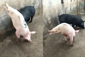 기형 돼지의 안타까운 물구나무서서 걷기