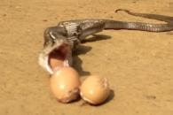 뱀꾼 보고 삼켰던 달걀 게워내는 뱀
