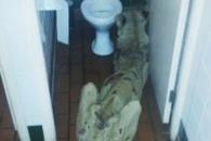 부끄럽게 죽지 않으려고 화장실로 숨은 암사자