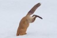 눈밭에 머리 박은 배고픈 여우