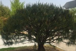 남북정상이 군사분계선에 심는 기념 식수목은 대전청사 '반송'