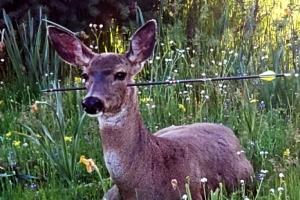 [포토] 머리에 관통된 화살에도 살아남은 사슴