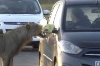 배고픈 사자, 이빨로 차량 문을…