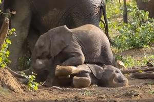 새끼 코끼리들의 몸싸움