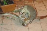 비단뱀으로부터 새끼 구하는 어미 주머니쥐