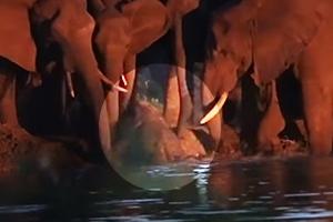 물에 빠진 새끼 구조하는 코끼리 가족