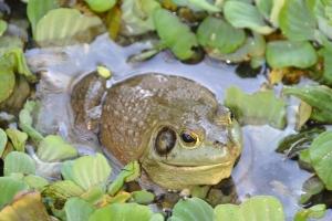 개구리 멸종 부르는 '개구리 흑사병' 한국에서 시작됐다